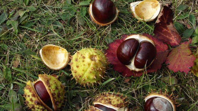 Mit Kastanien und Eicheln basteln und Herbstlaub Bilder kleben